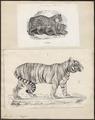 Felis tigris - 1700-1880 - Print - Iconographia Zoologica - Special Collections University of Amsterdam - UBA01 IZ22100101.tif