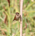 Female reed bunting (34654868185).PNG