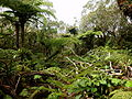 Fern tree forest.JPG