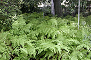 Ferns at the Royal Melbourne Botanical Gardens