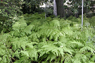 Fern - Ferns at the Royal Melbourne Botanical Gardens