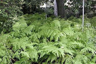 Fern - Ferns at the Royal Melbourne Botanical Gardens