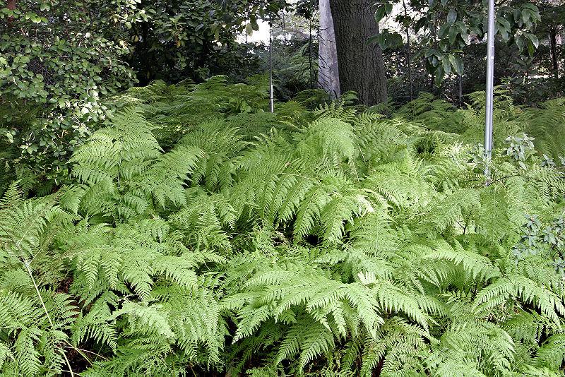 File:Ferns at melb botanical gardens.jpg