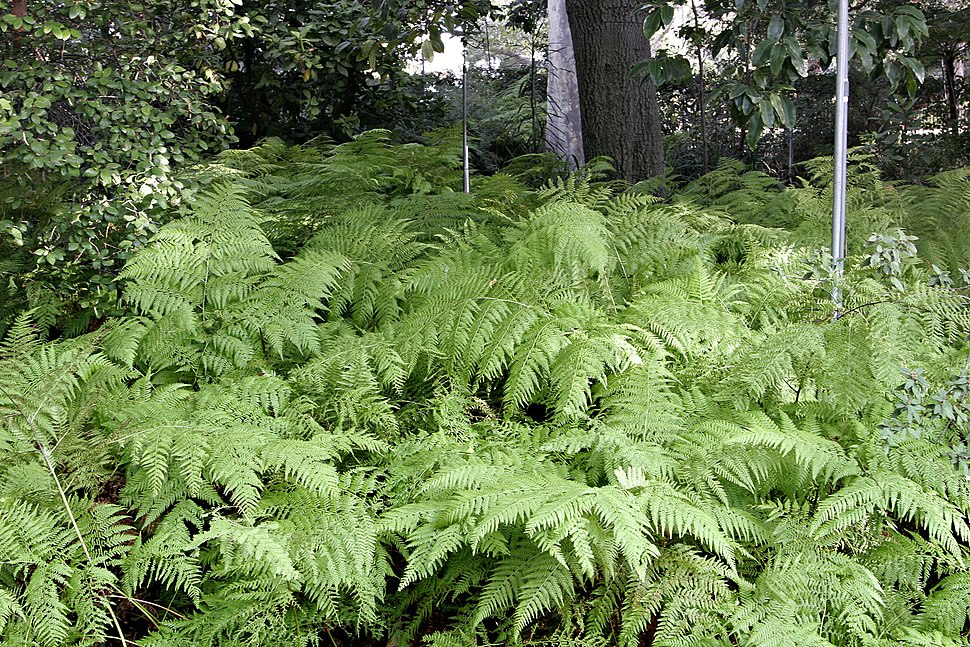 Ferns at melb botanical gardens