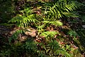 Ferns at the bottom of Gullmarsskogen ravine 1.jpg