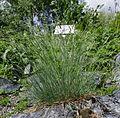 Festuca scoparia var serpentina ÖBG 2012-05-13 01.jpg