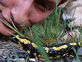 Feuer Salamander.jpg