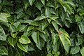 Ficus arnottiana 0728.jpg