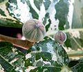 Ficus aspera 3.jpg
