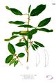 Ficus microcarpa Blanco2.382.png