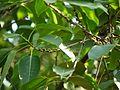 Ficus tsjahela (5595560534).jpg