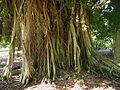 Ficus virens trunk.jpg