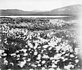 Field of Alaska cotton, Alaska, between 1902 and 1912 (AL+CA 2411).jpg