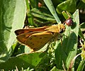 Fiery Skipper. Hylephila phyleus (37141462684).jpg