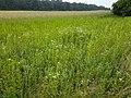Filago vulgaris sl250.jpg