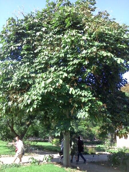 arbre parasol