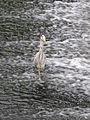 First heron (4735721247).jpg