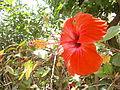 Fleur Plante Hibiscus Rose de Chine Jardin.jpg