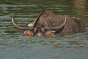 Flickr - Rainbirder - Bull Water Buffalo.jpg