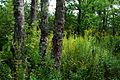 Flickr - ggallice - Bog forest, Cranberry Glades.jpg