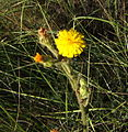 Flor Picris Hieracioides11.JPG