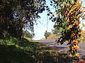 Flor de São João ( Pyrostegia venusta) na Rodovia Maurílio Biagi SP-343-322 em Pontal - panoramio.jpg