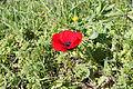 Flora of Israel IMG 4782 (12788195005).jpg
