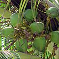 Florida Keys Coconut Palm.jpg