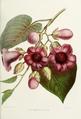 Flower-argyreia-nervosa.png