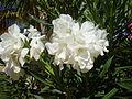 Flowers of Cuba 04.JPG