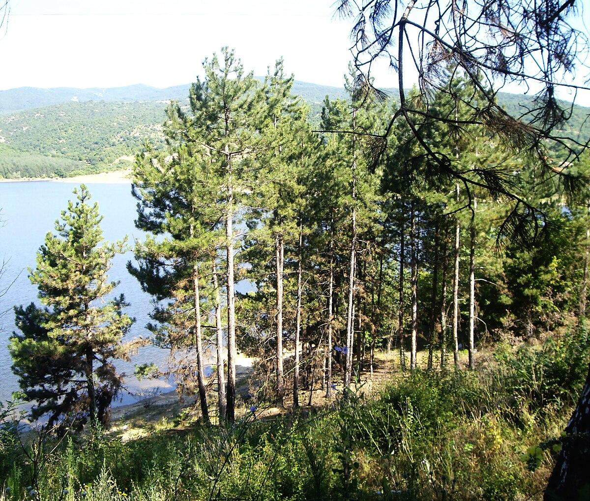 Pinus nigra - Wikipedia