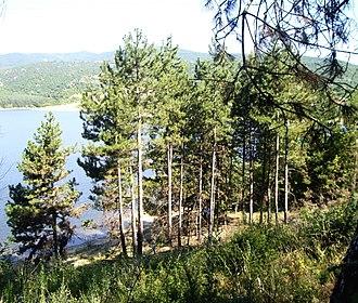 Pinus nigra - Pinus nigra subsp.  nigra, Bulgaria