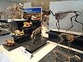 Fossil display - Royal Ontario Museum - DSC00091.JPG