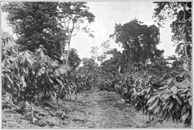 Fotg cocoa d063 fourth year growth of cocoa in samoa.png
