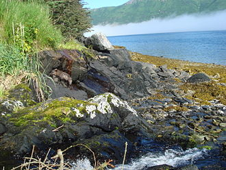 Raspberry Island (Alaska) - A fox searches for a meal along a rocky shore on Raspberry Island at low tide.