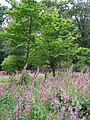 Foxgloves and sweet chestnut trees in the Pondhead Inclosure, New Forest - geograph.org.uk - 191551.jpg