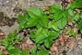 Fragaria vesca in Haute-Savoie (1).jpg