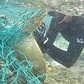 Freeing green sea turtle from net (8185185880).jpg