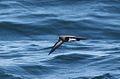 Fregetta tropica, Kaapse waters, Birding Weto, a.jpg