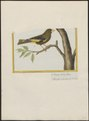 Fringilla sinica - 1700-1880 - Print - Iconographia Zoologica - Special Collections University of Amsterdam - UBA01 IZ16000077.tif