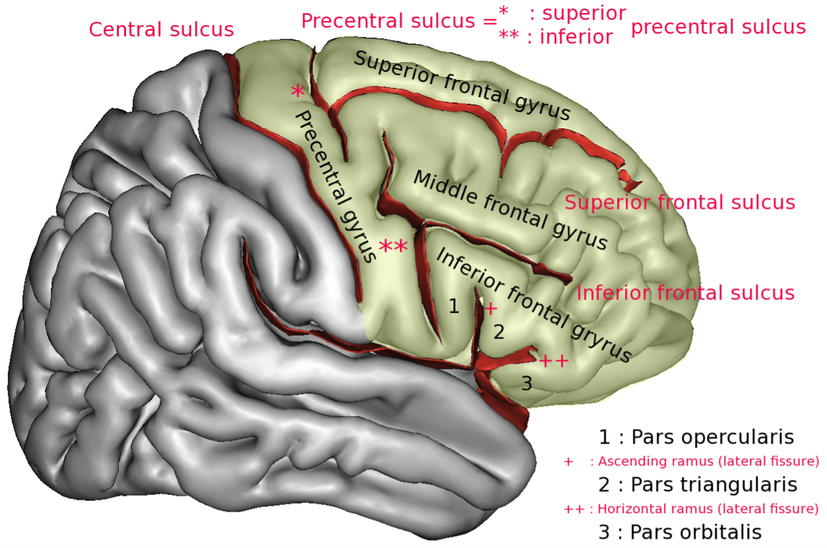 Superior frontal gyrus - Wikipedia