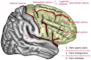 Middle frontal gyrus - Middle frontal gyrus of the human brain.