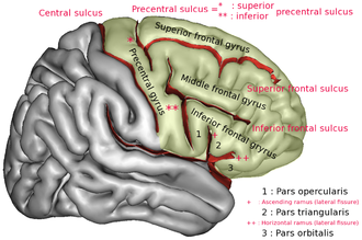 Precentral gyrus - Precentral gyrus a prominent gyrus of the frontal lobe