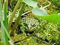 Frosch am Teich (freddy2001) (01).jpg