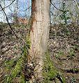 Frost Crack, Acer pseudoplatanus bark, Stewarton, East Ayrshire, Scotland.jpg