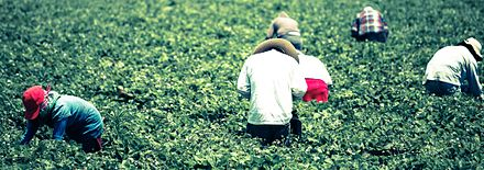 Farmworkers picking crop