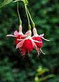 Fuchsia 'Aladna's Sander'.jpg