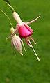 Fuchsia 'Triantha' 01.JPG