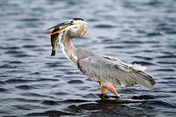 GBH with fish2.jpg