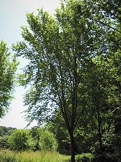 "<i>Ulmus</i> Nanguen = <span class=""trade_designation"" style=""font-variant:small-caps; margin-left: 0.05em;"">Lutece</span> Elm cultivar"